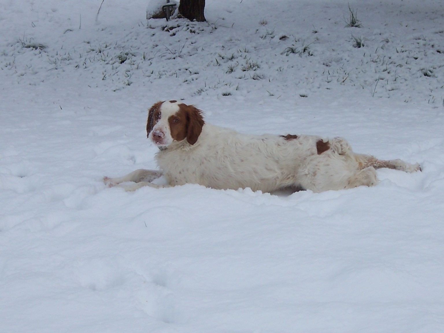 Beau the Snow Dog in his prime